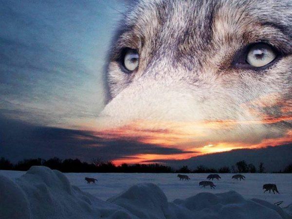 """Набор алмазной вышивки """"Выразительный взгляд волка"""""""